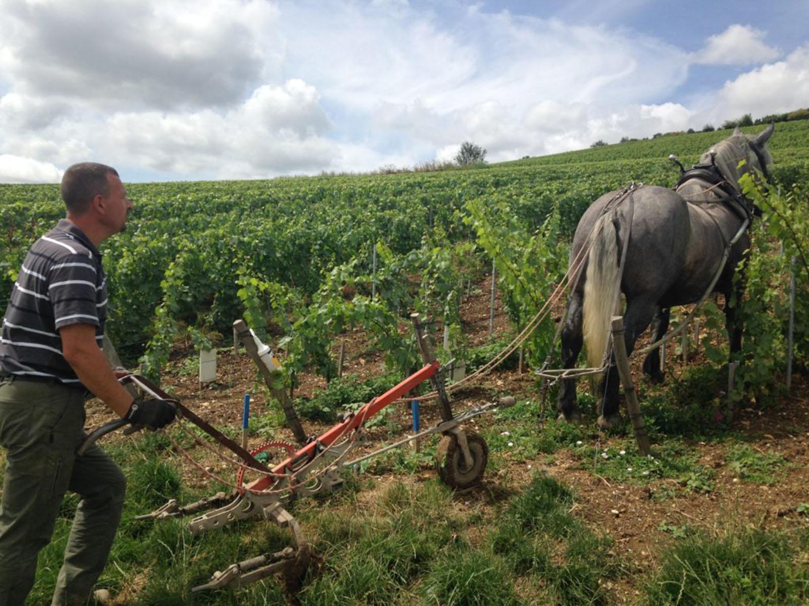 Arado viña con caballo en Champagne