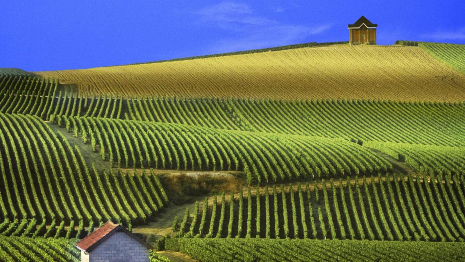Viaje a Champagne vineyard